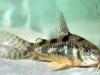 размножение аквариумных сомов
