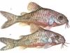 аквариумные рыбки сомы фото