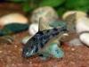как размножаются аквариумные сомы