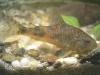 сомы анцитрусы аквариумные