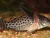 аквариумные рыбки сомы коридорасы