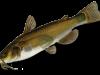 аквариумные рыбы сомы