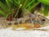 болезни аквариумных сомов