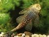 аквариумные сомы присоски