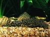 породы аквариумных сомов
