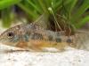 белый сом аквариумный