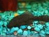 аквариумные рыбки акулий сом