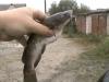 аквариумные сомы хищники