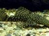 хищные аквариумные сомы