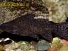 аквариумные рыбки сом крапчатый