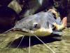 аквариумные рыбки сом стеклянный