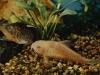 разновидности аквариумных сомов